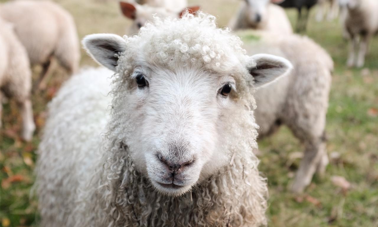 Voorbereiding weideseizoen voor uw schapen, geiten en rundvee