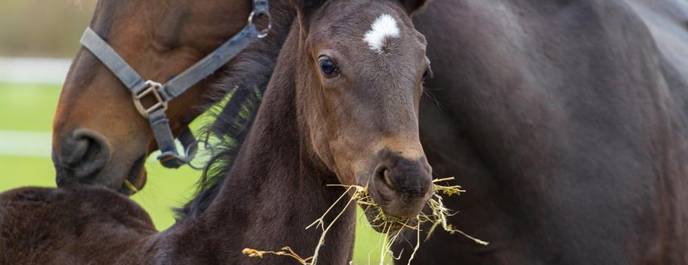 Animo: gynaecologie paard
